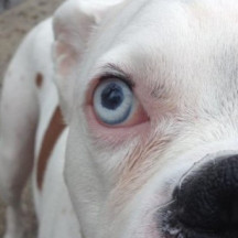 truncated icosahedral canine eye