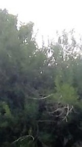 oak tree with half face multiple within front yard (recording with tablet) light