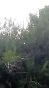 oak tree with half face multiple within front yard (recording with tablet) light flip